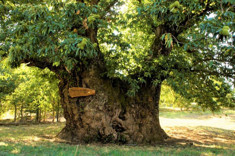 APOIE O CASTANHEIRO DE VALES, a árvore portuguesa no Concurso «Árvore Europeia 2020»