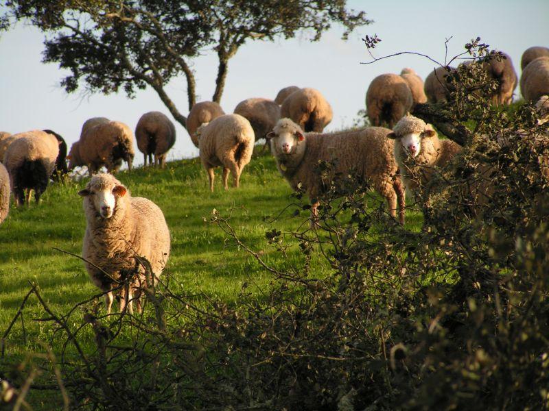 Declaração de Existências de Ovinos e Caprinos durante mês de Janeiro