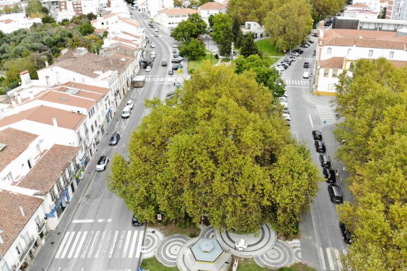 Plátano do Rossio eleito Árvore Portuguesa 2021