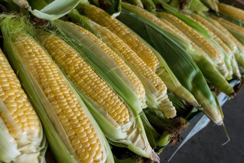 ISA realiza inquérito sobre cultura do milho