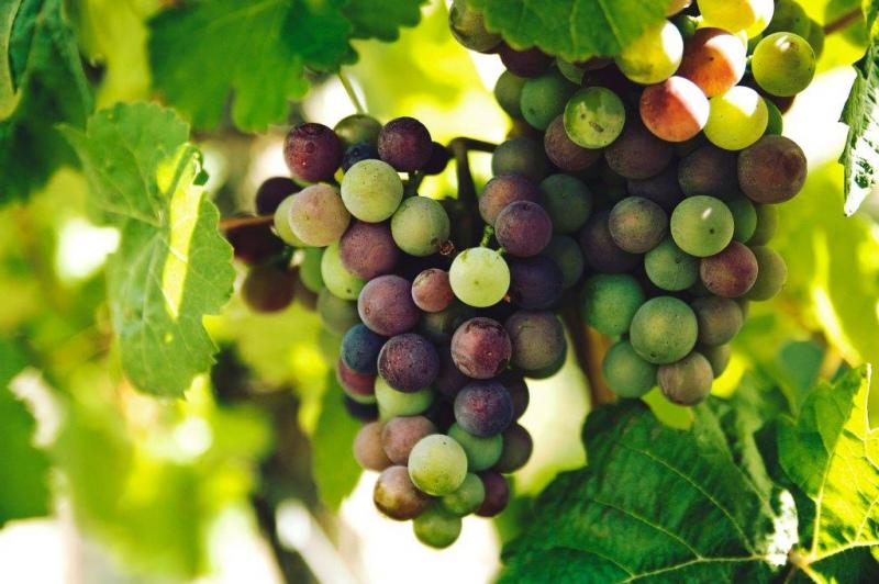 Declaração de Existências de  Produtos Vínicos é obrigatória até 10 de Setembro