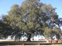 Sobreiro português é Árvore do Ano 2018