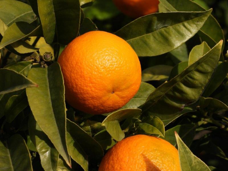 Maiores produtores de citrinos da Europa reunidos na Córsega
