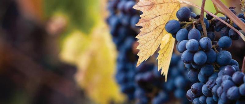 Produção de vinho europeu em queda
