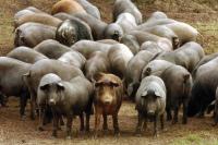 Portugal reforça nível de alerta contra Peste Suína Africana
