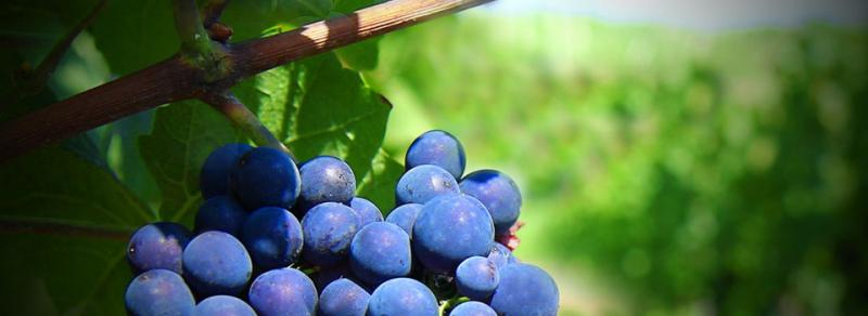 ADVID promove Reflexão sobre Viticultura no  Seminário: Variedades Resistentes, Alternativas aos Fungicidas?