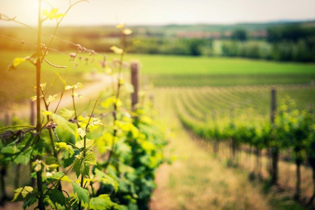 Autorizações para Novas Plantações de Vinha - CANDIDATURAS ATÉ 15 DE MAIO